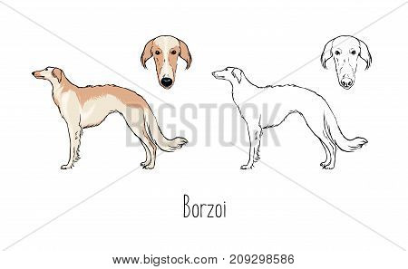 Set of colorful and monochrome contour drawings of head and full body of Borzoi, front and side views. Beautiful and elegant coursing dog of long-haired breed. Realistic vector illustration