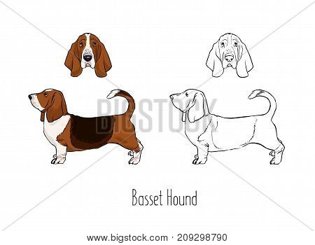 Collection of colorful and monochrome outline drawings of head and full body of Basset Hound, front and side views. Gorgeous hunting dog of short-legged breed. Realistic vector illustration