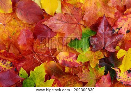 autumn background of colorful  leaves