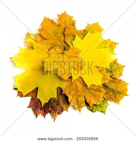 Heap of colorful autumn fall maple leaf isolated on white background