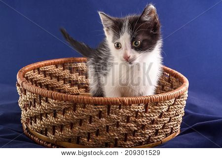 cute little kitten sitting in a wicker basket on a blue background