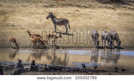 Plains zebra and impala in Kruger national park, South Africa ; Specie Equus quagga burchellii family of Equidae