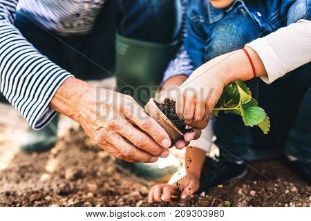 Unrecognizable senior man with his grandaughter planting a seedling on allotment. Man and a small girl gardening.