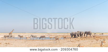 Elephant giraffe Burchells zebras springbok and blue wildebeest at a waterhole in Northern Namibia