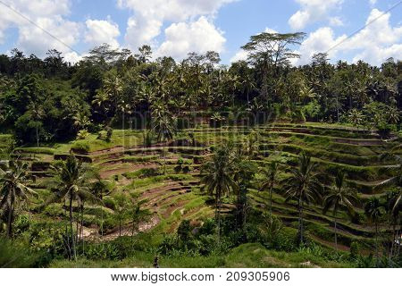The rice field in Ubud - Bali. It's constructed using a philosophy of 'subak' that makes it as a UNESCO world heritage site. Pic was taken in January 2016. poster