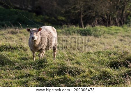 Ewe in English countryside field. Solitary domestic free range farm animal kept on wild grass field.