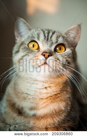 British Short hair cat with yellow eyes lying on table.