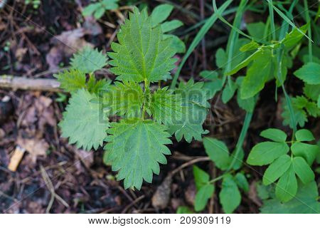The first shoots of nettle in the spring forest.