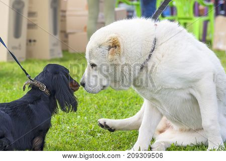 Two dogs, white and black, sniff each other.. Space under the text. 2018 year of the dog in the eastern calendar Concept: parodist dogs, dog friend of man, true friends, rescuers.