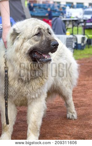 Caucasian Shepherd Dog. Space under the text. 2018 year of the dog in the eastern calendar Concept: parodist dogs, dog friend of man, true friends, rescuers.