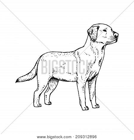 Hand drawn dog labrador. Retro realistic animal isolated. Vintage style. Doodle line graphic design. Black and white drawing pet. Vector sketch.