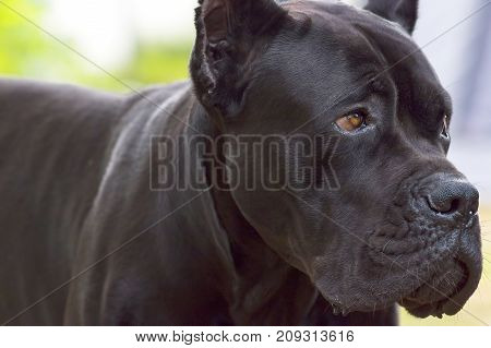 The Great Dane with a sad look. Head with open jaws against the background of green blurred grass, a look forward to a close-up. Space under the text. 2018 year of the dog in the eastern calendar