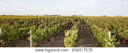 Panorama Of Wine Fields Of Bordeaux French Vine