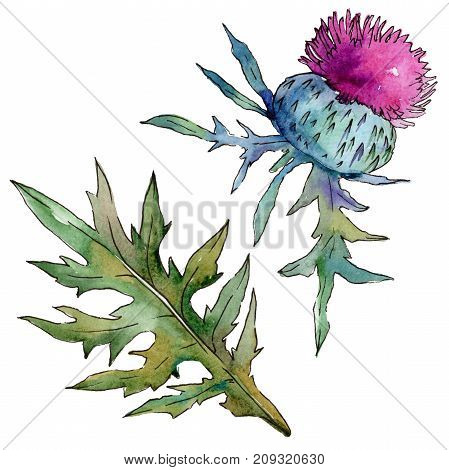 Wildflower thistle flower in a watercolor style isolated. Full name of the plant: thistle, budyak. Aquarelle wild flower for background, texture, wrapper pattern, frame or border.