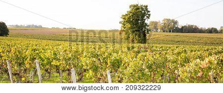 Panorama Of Grape Vineyard Wine Autumn Lights At Bordeaux France