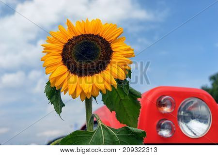 Sunflower against a blue sky with a cloud and a lamp on a red tractor on a summer day