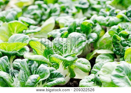 Bok choy or Chinese cabbage growing in organic vegetables garden