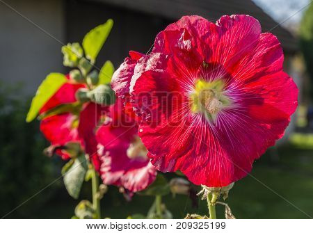 Beautiful red flower blooming in autumn in the garden.