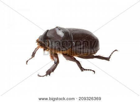 Dark brown rhinoceros beetle isolated on white background