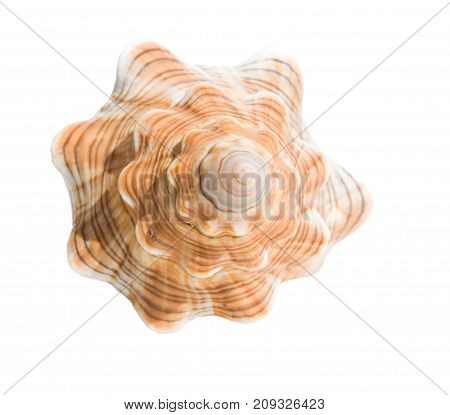Sea shell isolated on white background. Shell front view