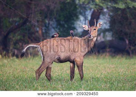Male Nilgai (boselaphus Tragocamelus) With Brahmini Mynas Sitting On Him In Keoladeo National Park,