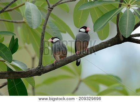 beautiful Java Sparrow (Lonchura oryzivora) feeding on ground