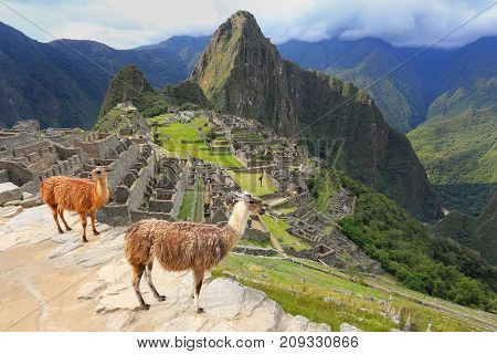 Llamas standing at Machu Picchu overlook in Peru. In 2007 Machu Picchu was voted one of the New Seven Wonders of the World.