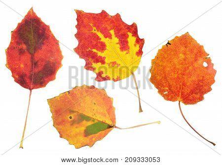 Set of autumn aspen leaves isolated on white background