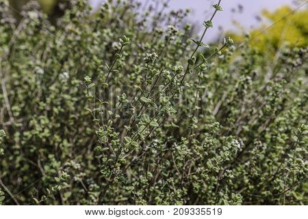 Green zaatar herb plant bush with white flowers nature background blue sky and yellow bush