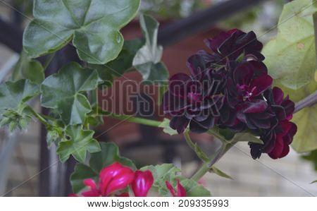 blooming pelargonium pink red indoor plant growing in the spring