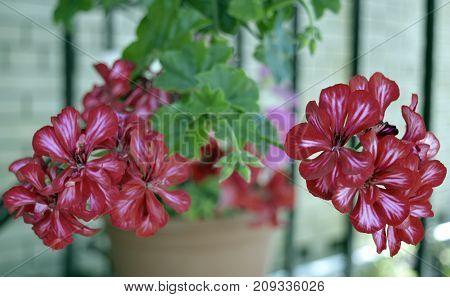 blooming pelargonium pink red houseplant spring plant