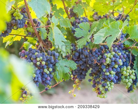 Bunches of red grapes growing in Southern France.
