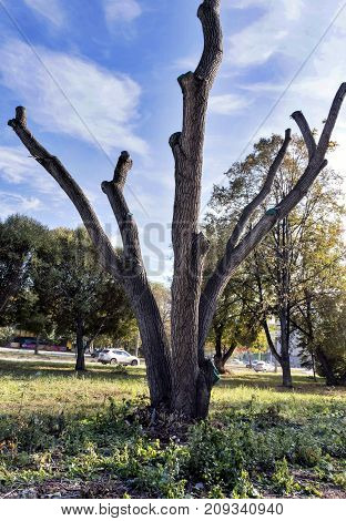 Tree With A Sawn-off Branches