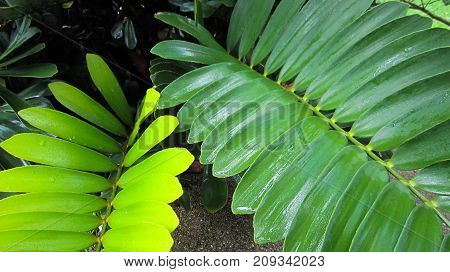 Leaf stems are sparsely bright green beautiful after rain so there is a drop of water on the leaves.
