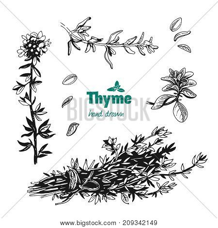 Detailed hand drawn vector illustration of thyme plant with flowers and leaves isolated on white background