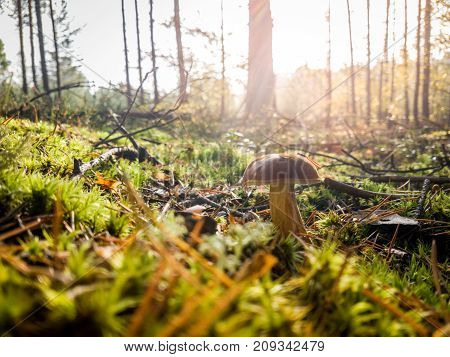 Mushroom in the grass in a forest on a sunny day