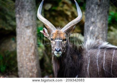 Male of wild life animal lowland nyala (Tragelaphus angasii)