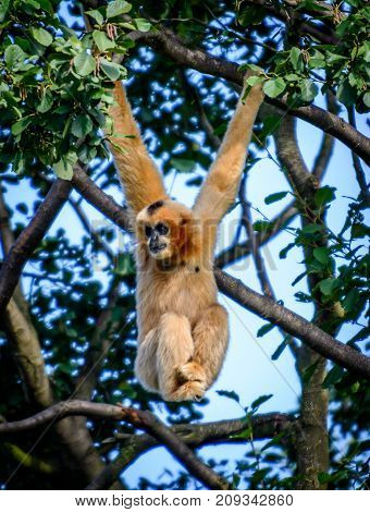 Female of northern white-cheeked gibbon (Nomascus leucogenys) on tree