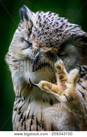 Eurasian Eagle Owl (Bubo bubo sibiricus) wild life bird