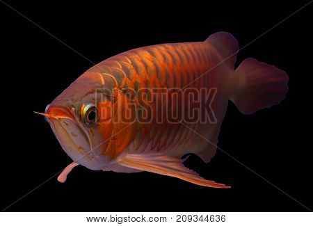 Asian red arowana fish isolated in a black background