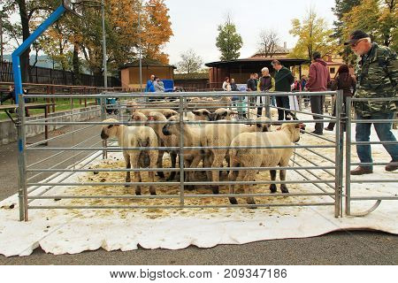 herd of sheep in the enclosure and some visitors around them at the exhibition of farm animals in Vendryne, Czech Republic, October 14, 2017