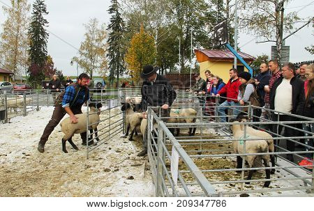 evaluators judging a sheep at the exhibition of farm animals in Vendryne, Czech Republic, October 14, 2017