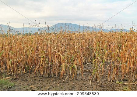 landscape with sear field of corn in autumn