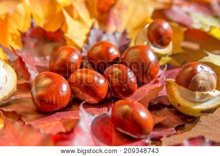 macro photo of autumn chestnuts on a background of yellow leaves.