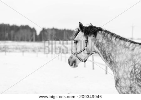 Grey dappled horse portrait in winter with copy space. Black and White equestrian background
