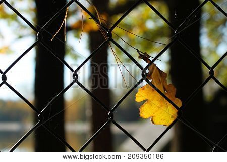 close photo of bright yellow fallen leaf of oak tree and some pine needles stuck in the fence enlighten with the sun