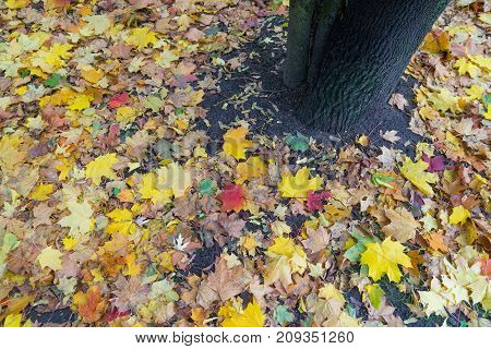 yellow and red leaves maple tree fallen in autumn.