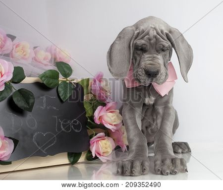 Purebred Great Dane puppy bowing its head with wedding decorations
