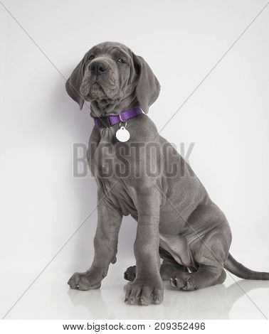 Gray purebred Great Dane puppy sitting on a white background