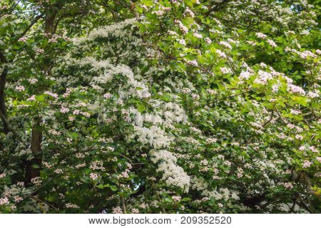 the lush flowering of the hawthorn tree